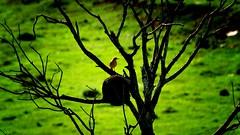 natureza urbana.... (mauroheinrich) Tags: verde green bird brasil nikon natureza passarinho pássaro blacklight campo nikkor nikondigital pássaros riograndedosul pampa pago 28300 joãodebarro nikonians ibirubá nikonprofessional d300s vidagaúcha 28300vr nikonword mauroheinrich