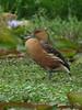 Dendrocygna bicolor / Iguasa María / Fulvous Whistling-Duck (felixú) Tags: anatidae fulvouswhistlingduck dendrocygnabicolor