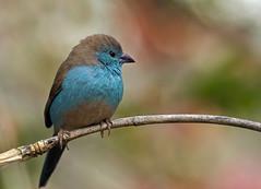 Blue-waxbill_9469 (Peter Warne-Epping Forest) Tags: bird southafrica finch waxbill bluewaxbill uraeginthusangolensis