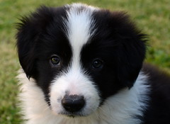 New puppy (iainwalker) Tags: dog pet white black grass puppy nose sheepdog lawn melbourne ears canine whiskers bordercollie 2013 nikond7100 scottishsheepdog
