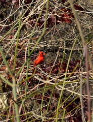 Cardinal (Adventurer Dustin Holmes) Tags: statepark bird nature birds animal animals outdoors photography cardinal wildlife aves missouri ozarks animalia cardinals stateparks passeriformes chordata bennettspring cardinalidae 2013 passeri