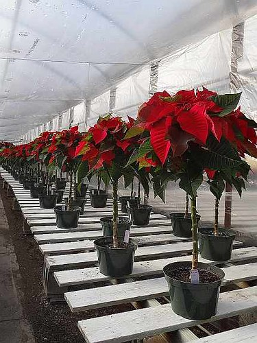 Poinsettia Trees @ Wickmans
