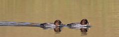 Common Goldeneye, McGuire Center Pond, University of Florida Campus, Gainesville, Florida (kmalone98) Tags: wildlife aves anatidae commongoldeneye bucephalaclangula ducksswansandgeese