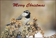 Wishing all My Flickr Friends a Very Merry Christmas!!! (Happy Photographer) Tags: christmas bird colorado card chickadee mountainchickadee happyphotographer amyhudechek