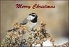 Wishing all My Flickr Friends a Very Merry Christmas!!! (Amy Hudechek Photography) Tags: christmas bird colorado card chickadee mountainchickadee happyphotographer amyhudechek