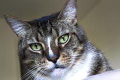 Hunter (DFChurch) Tags: pet cat feline stare hunter