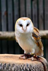 Barn Owl (BDM17) Tags: atlanta barn ga georgia zoo alba disk owl perch facial tyto