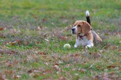 Qui vient chercher la balle ? (raphael.labourel) Tags: dog chien pets france beagle earth iso monde animaux hautegaronne colomiers cabirol isotop