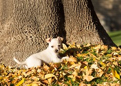 Dexter (BradyCarothers) Tags: dog chihuahua cute toy adorable dexter toydog chorkie