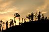 Tea gardens (shalakashah) Tags: trees sunset sky coffee gardens tea kerela vythri