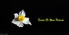 Narcissua (Ammar-Kh) Tags: flowers plants nature narcissus
