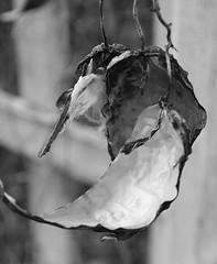 Seed Pod 2 (pjpink) Tags: winter blackandwhite bw virginia richmond northside february curved bellevue seedpod rva 2014 pjpink