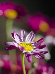 After the Rains (Steve Corey) Tags: flowers explore blooms waterdrops nopostprocessing rains earlyspring gardenflower outofcamera