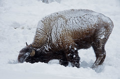 Bison grazing in snow, Yellowstone, National Park, Wyoming (walkerross42) Tags: show winter nationalpark yellowstone wyoming bison