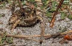 Discoglossus galganoi (Mauro Hilário) Tags: smile painted amphibian frog discoglossus galganoi