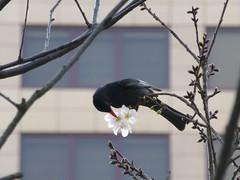 Black Bulbul & cherry blossoms (Shelley Huang) Tags: tree bird cherryblossoms 鳥 櫻花 blackbulbul 紅嘴黑鵯
