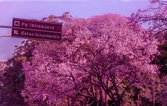 Visit Ibirapuera (Serlunar (tks for 5.0 million views)) Tags: parque brazil tree brasil photo do foto magenta du ibirapuera paulo arvore monde arbre coupe so mundo copa estacionamento serlunar