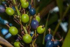 Alpinia caerulea (dustaway) Tags: australianflora australianplants lismore northernrivers nsw australia zingiberaceae alpiniacaerulea nativeginger fruit capsules blue green globose arfp qrfp nswrfp subtropicalarf tropicalarf arffruits arffs bluearffs arfherb