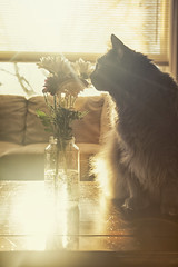 Smelling the Flowers (flashfix) Tags: march192017 2017inphotos ottawa ontario canada canon canoneos5dmarkii 5dmarkii 17mm40mm light sunlight fyero portrait ragdoll ragamuffin couch blanket backlight gray eyes nebelung playful flowers floral