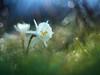 Narcissus cantabricus (luisotespi68) Tags: narcisos bulbosas bulbos amarilidáceas flores flora vegetación naturaleza fondo bokeh desenfoque chinon autochinon 50mm f14