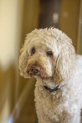 I Love Lucie (Exdeltalady) Tags: golden poodle canine pet goldendoodle lucid dog