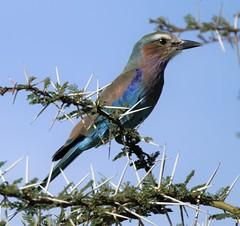 Lilac-breasted Roller (sueriffe) Tags: lilacbreastedroller ngorongoro tanzania sheflewbirdingtours bird birding birdwatching
