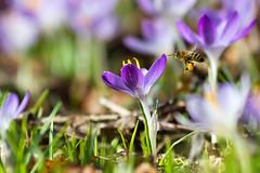 bee at work (nabestimmt) Tags: bee flora beautiful spring germany macro animal nikon d7100 70200 f4 crocus nature