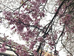 IMG_1381 (digitalbear) Tags: apple iphone7 plus yotsuya sophia university jochi daigaku tokyo international forum chiyodaku japan roast chicken unagi eeel kikukawa ukai le poulet kitte live drawing shinjuku marui gyoen sakura cherry blossom blooming