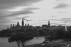 Views under seagull flight Ottawa Ontario Canada (M&M_Photography) Tags: bw blackwhite bnw seagull river parliament parliamenthill hill trees cityview cityscape riverside ottawa capital ontario canada travel tourism picture photo followme canon