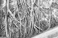 Roots (t-a-i) Tags: 35mm 35mmf14 a7rii a7rmkii a7r2 central hongkong ilce7rm2 sony sonya7rii sonyilce7rm2 sonyα7rii trees voigtlander voigtlander35mmf14 voigtlandernoktonclassicsc35mmf14 voigtländernoktonclassicsc35mmf14 voigtländer voigtländer35mmf14 α7rii hongkongisland hk