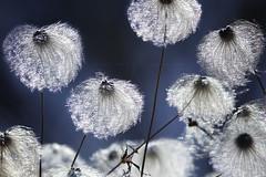 Illumination (Rosemary Danielis) Tags: flowers plants backlit sunlight shine glow inspiration light dark nature outdoor