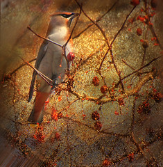 -- heralding spring-- (xandram) Tags: cedarwaxwing berries texturesmyown photoshop