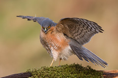Sparrowhawk (Simon Stobart) Tags: sparrowhawk male accipiter nisus threat display perched branch scotland ngc npc coth5