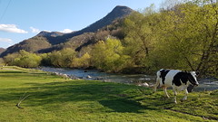 Teteven - Bulgaria (Been Around) Tags: cow kuh vit river spring vitriver teteven lovechprovince animal tier fluss ufer