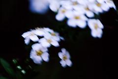 DSC02768 (Michael Rasmussen) Tags: sony sonya99 sonyalpha michaelrasmussen minoltaamount amount berlin blomst blomster germany