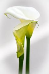 -20170318Fun in the Garden28 (Laurie2123) Tags: laurieabbottturner laurieturner laurieturnerphotography laurie2123 nikond800 nikkor105mm backyard bokeh macro white yellow highkey green callalily calla flower flowers