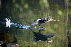 Calberson (Jean-Luc Léopoldi) Tags: oiseaux foulque printemps nid paille vitesse speed rivière reflection wings water eau countryside campagne splash hurry fly vol rasdeleau