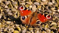 Butterfly (Ⓨ a s m i n e Ⓗ e n s +4 900 000 thx❀) Tags: papillon butterfly peacock texture color macro hensyasmine paondujour