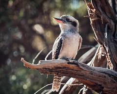 Kooaburra (Keith Broad Photography) Tags: olympusem1mkii olympusmzuiko40150mmf28 olympusmzuiko14converter kookaburra bird rimlight wild