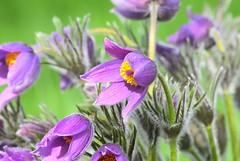 Pasque Flower (careth@2012) Tags: pasqueflower flower nature petals spring