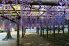DSC_1580 (sayo-tsu) Tags: 藤 wisteria 牛島のフジ 春日部市 埼玉県 kasukabe saitama 特別天然記念物