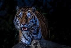 The last that you will see / Das letzte was du sehen wirst (mr.wohl) Tags: tiger wildlife wildniss katze raubkatze jäger raubtier nacht