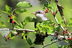 2547 Yellow-billed Cuckoo (Coccyzus americanus) (andykjordan) Tags: yellowbilledcuckoo coccyzusamericanus smithoaks highisland texas