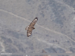 Common Buzzard (Buteo buteo) (gilgit2) Tags: altit avifauna birds canon canoneos7dmarkii category commonbuzzardbuteobuteo fauna feathers geotagged gilgitbaltistan hunza imranshah location pakistan species tags tamron tamronsp150600mmf563divcusd wildlife wings gilgit2 buteobuteo