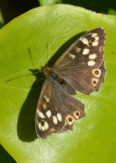 Speckled Wood Butterfly Christchurch