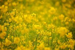Small happiness (SHUN.ANDANTE) Tags: 菜の花 flower nanohana