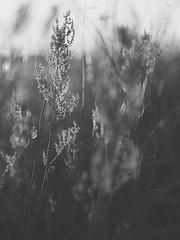 Sun Glow (Budoka Photography) Tags: monochrome blackandwhitephotos bw noiretblanc plant flora 7dwf canonllens canonfd50mmlf12 blackwhite bokeh dof