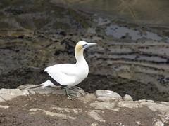 Australasian Gannet (jdf_92) Tags: newzealand bird muriwaigannetcolony australasian gannet morusserrator tākapu