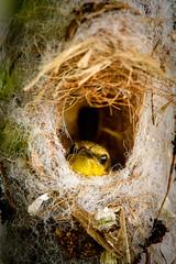 _D4A9816.jpg (Light Machinery) Tags: oilvebackedsunbird sunbird afsnikkor200400mmf4gedvrii afsteleconvertertc14eii nest