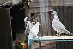 21 April 2017 (51) (AJ Yakstrangler) Tags: yakstrangler pigeon pigeons